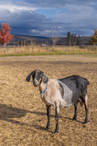 Grande Ronde Goat Dairy