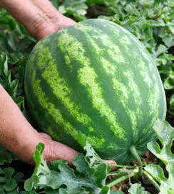 Watermelon from Umatilla County